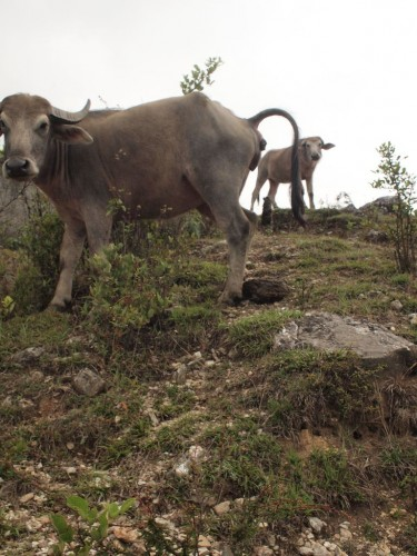 大体誰かに飼われているものだが野生の牛もいる。