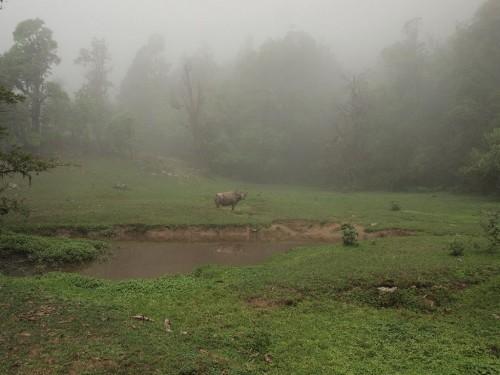 そして霧の中に牛。ゾクっとした。(ちなみにワイルドバッファローはたまに人を攻撃します)